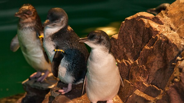 Little blue penguins at the New England Aquarium.