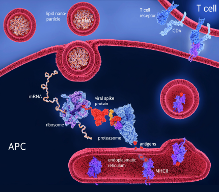 COVID-19 mRNA vaccine induces an immune response through the activation of T cells with antigenes obtained out of the viral spike protein (red)., which is encoded by the mRNA contained in the vaccine. APC=antigen-presenting cell